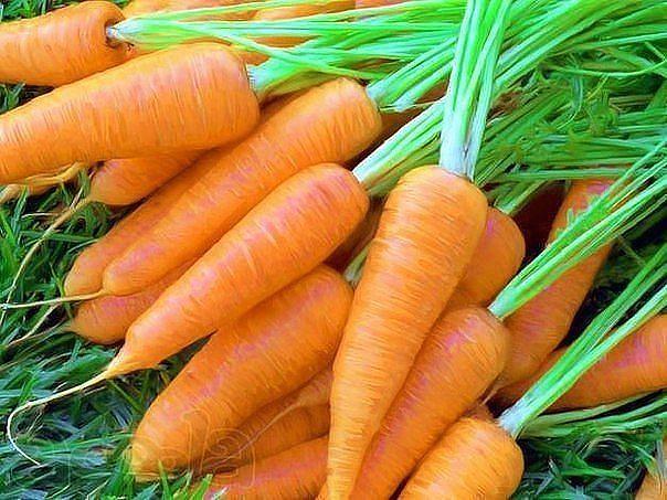 посадка моркови фото