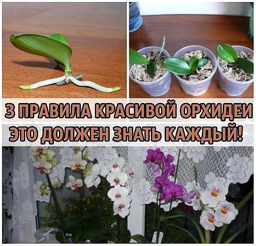 3 pravila orhidei foto