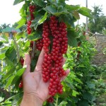 Как получать в десять раз больше урожай смородины и малины