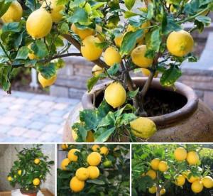 Как вырастить лимон фото