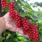 В десять раз больше урожай малины и смородины