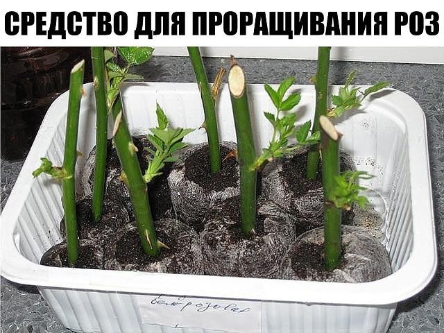 """Супер-средство """"Тройчатка"""" для проращивания роз."""