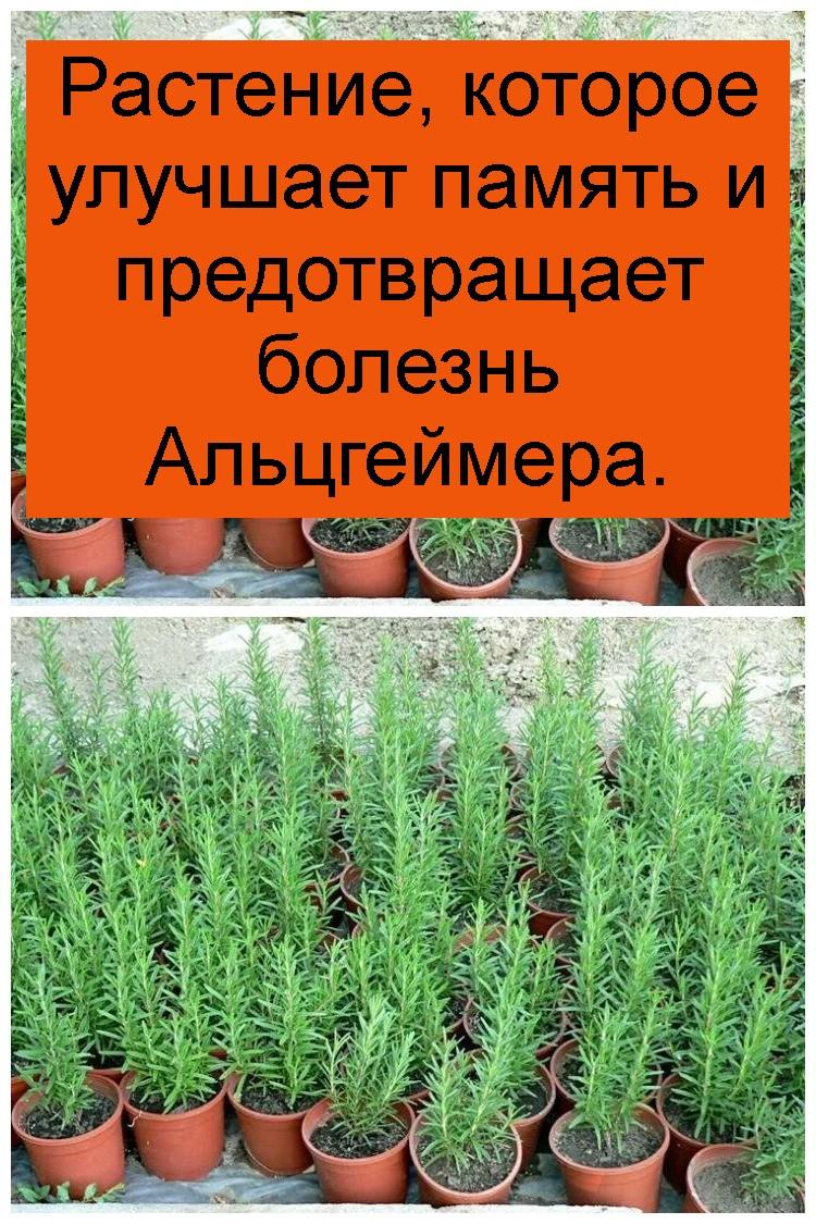 Растение, которое улучшает память и предотвращает болезнь Альцгеймера 4