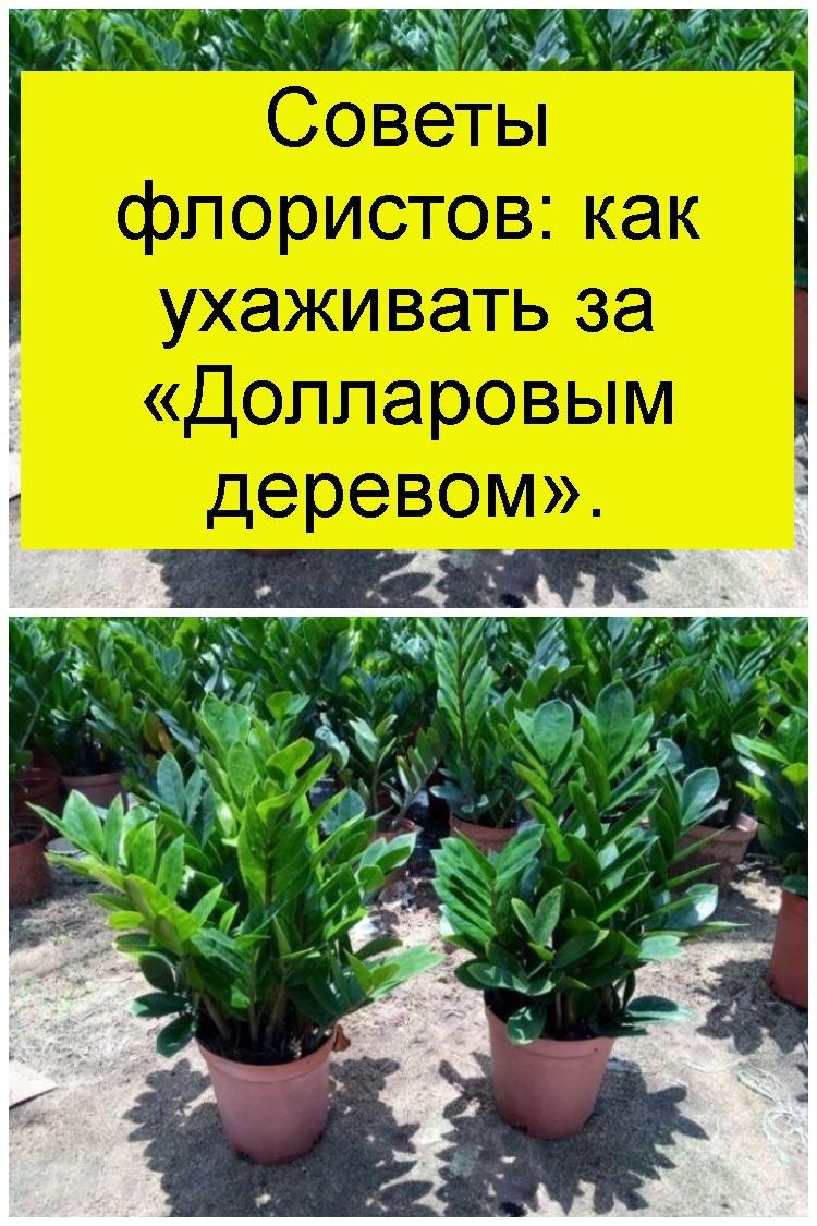 Советы флористов: как ухаживать за «Долларовым деревом» 4
